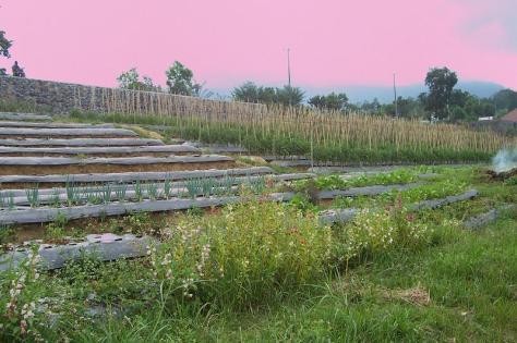 Tanaman sayur organik